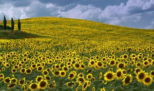 Tuscanysunflowers